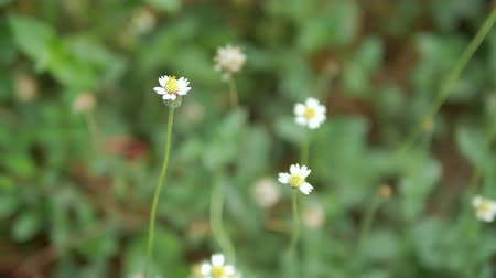 gypsophila : Dolly slide dry white small flower in nature place Stock Footage