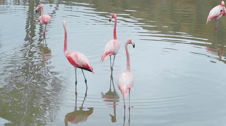 flamingi : Pink flamingos stand in the water on their long legs and find food, colorful exotic birds, birds of the tropics