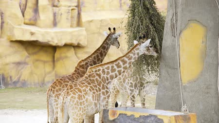 přežvýkavec : Pair of giraffes eat green branches at the zoo, animals in the safari park, giraffes with their tall necks in the tropical park, talles animal