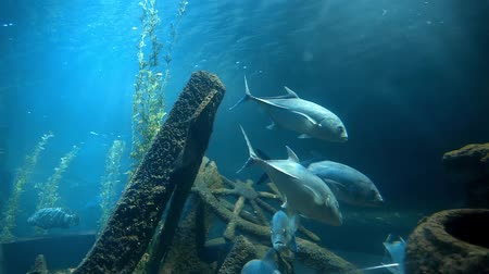 cavala : Tuna fishes swim in blue water near the old ships wreckage, fishes in blue sea, ocean life under water, school of big fishes