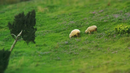 pastar : 2 sheep grazing over green field. Full HD, 1080p, 24fps.