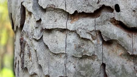 granulação : Trunk of the tree with exfoliated bark eaten borers