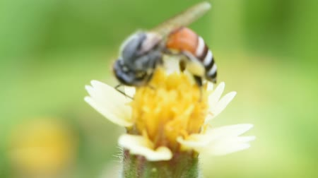 yabanarısı : The bee collects the nectar from flower in nature,Macro view soft focus Stok Video