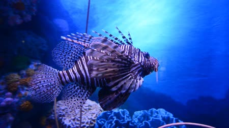 podwodny swiat : Lion fish in aquarium with blue background