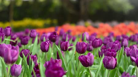 tulipany : colorful tulips in garden, pink and red  Wideo