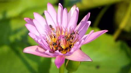 leknín : Bee on the water lily flower