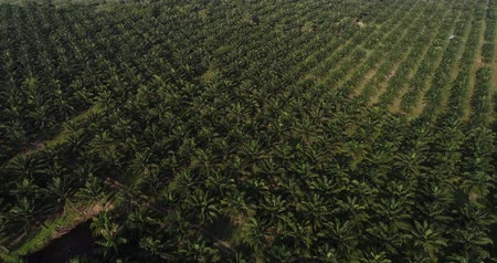 borneo : Palm oil plantation field agricultural industry aerial view background