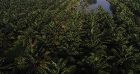 palm oil plantation : Palm oil plantation green field with morning sun light agricultural industrial Stock Footage