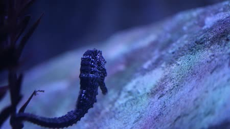 seahorse : Sea horse in deep blue sea of aquarium Stock Footage