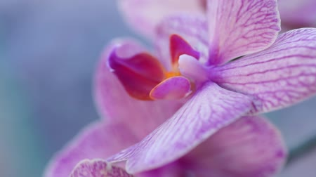 orchideeen : Blooming beautiful purple orchid flower. Macro video Stockvideo