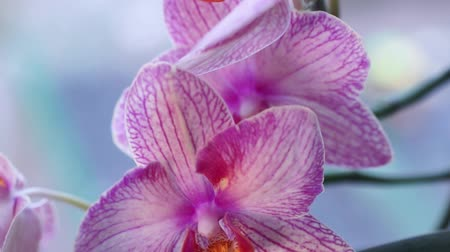 Blooming beautiful purple orchid flower. Macro video Wideo