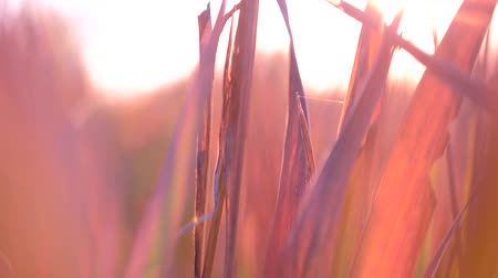 katicabogár : Grass video in the Golden hour