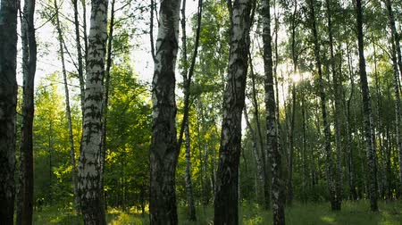 размышлять : birch grove at sunset Стоковые видеозаписи
