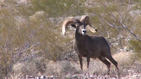 nevada : Long horned sheep in Nevada Stock Footage