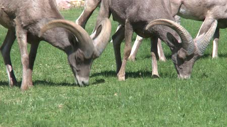 hoofs : Long horned sheep in Nevada Stock Footage