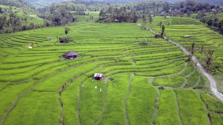 pastoral : Lateral bread aerial shot above stunning Bali rice terraces and palm trees rainforest landscape view from above in exotic travel holidays and Asia beautiful destination concept Stok Video