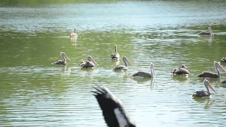 painted stork : group of Pelicans swim in the pond Stock Footage
