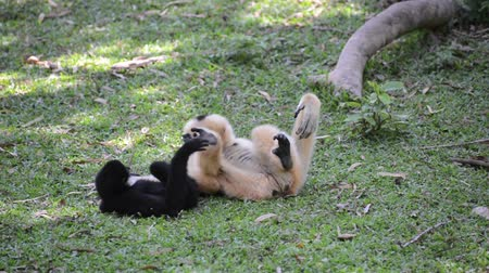 majom : baby white cheeked gibbon is playing with mother