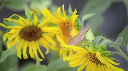chamaeleo : Chameleon lizard on the sunflower branches Stock Footage