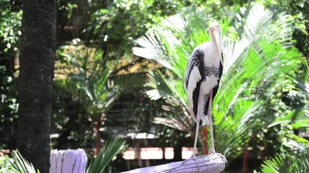 painted stork : Painted stork on the branch