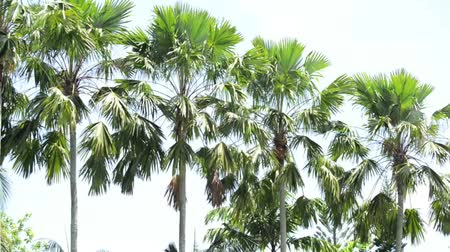 farm in brazil : Sugar palm tree in the line