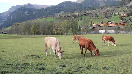 скот : milky cows grazing in swiss mountain pasture Стоковые видеозаписи