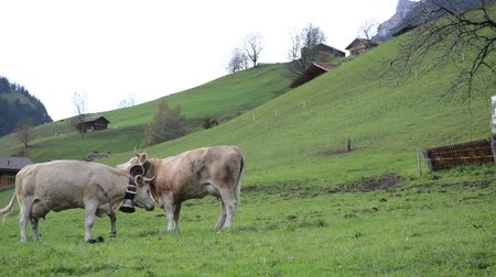 pastoral land : milky cows grazing in swiss mountain pasture Stock Footage