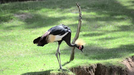 brasão : African Grey Crowned Crane (Balearica Regulorum), Bird In Crane Family Gruidae