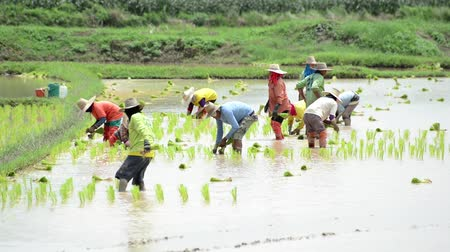 rolnik : Group of farmer working hard on rice field