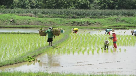 irrigação : Group of farmer working hard on rice field