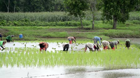 duro : Group of farmer working hard on rice field