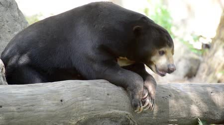 snoot : Malayan sun bear