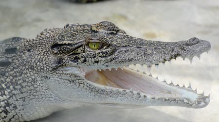 anima : Crocodile
