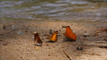 orange butterflies many species find food explore natural sources .High quality footage