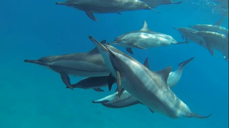 yunus : many dolphins close to the dive in the red sea
