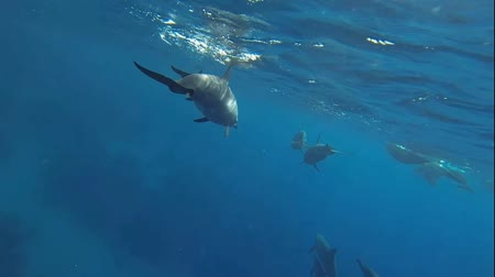 yunus : dolphins with small baby dolphins swimming in the red sea