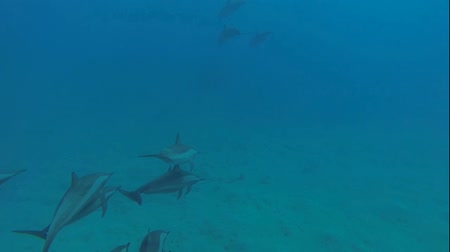 yunus : dolphins in the red sea with a scuba diver underwater Stok Video