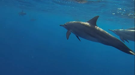 yunus : swim and dive with many dolphins in the red sea