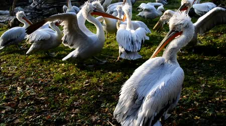 marco nacional : many curly head pelicans in the zoo schoenbrunn in vienna