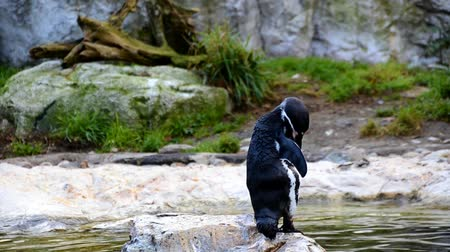 marco nacional : small penguin in the zoo preens on rock and water