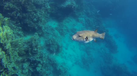 szczupak : White-spotted puffer fish swims in the sea in egypt Wideo