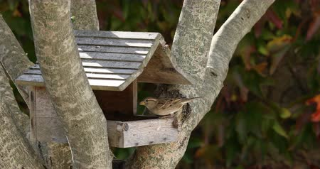 A little sparrow is eating seeds in a wooden cabin