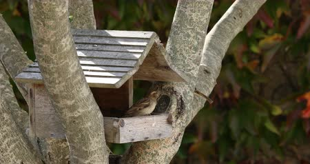 Little sparrows fight to eat seeds in a wooden cabin