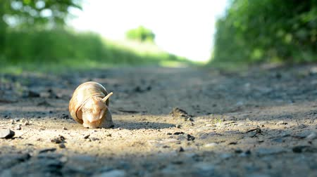 wooden path : snail crawls on path (in nature) Stock Footage