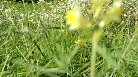 pasture land : meadow of flowers with green grass - overgrown - sunny