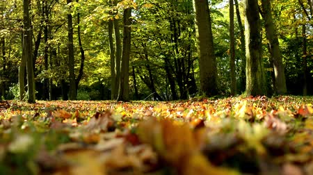listki : Autumn park (forest-trees) - fallen leaves - sun rays (sunny) Wideo