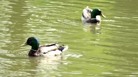 утки : Two ducks swim on the pond