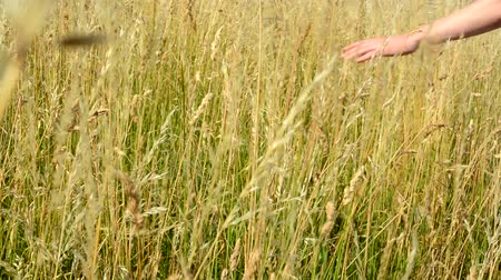 çim : hand fluently flows through the gold grass out from camera - detail Stok Video