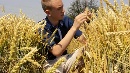 investigação : young and handsome man unsure searches seed in the wheat field