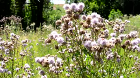 devedikeni : grassland with thistles in the countryside - breeze blows